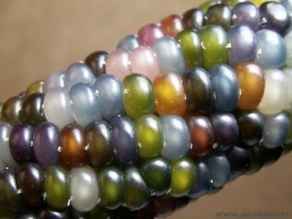 美国发现七彩玉米 外观晶莹剔透犹如琉璃
